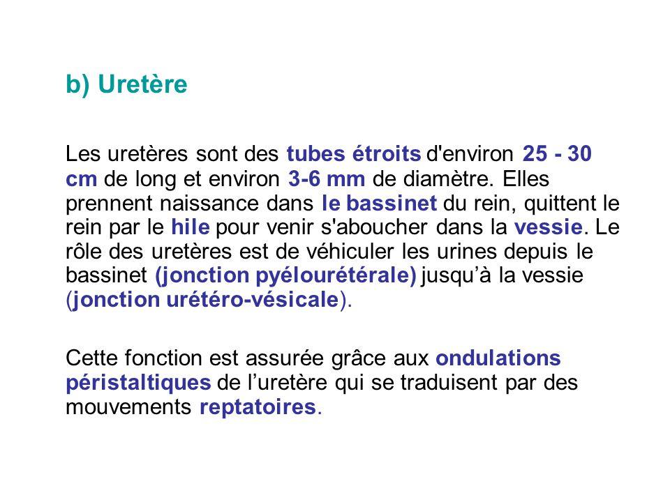 b) Uretère