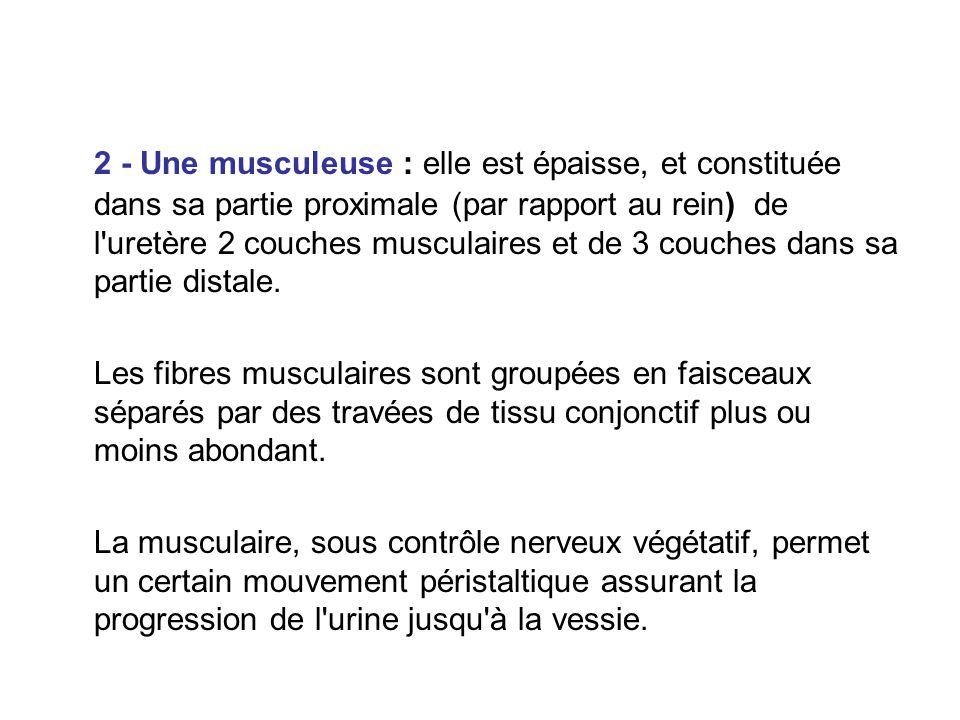 2 - Une musculeuse : elle est épaisse, et constituée dans sa partie proximale (par rapport au rein) de l uretère 2 couches musculaires et de 3 couches dans sa partie distale.