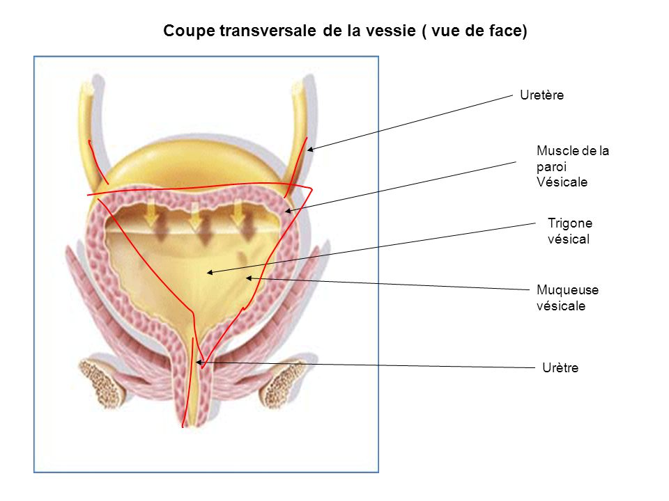 Coupe transversale de la vessie ( vue de face)