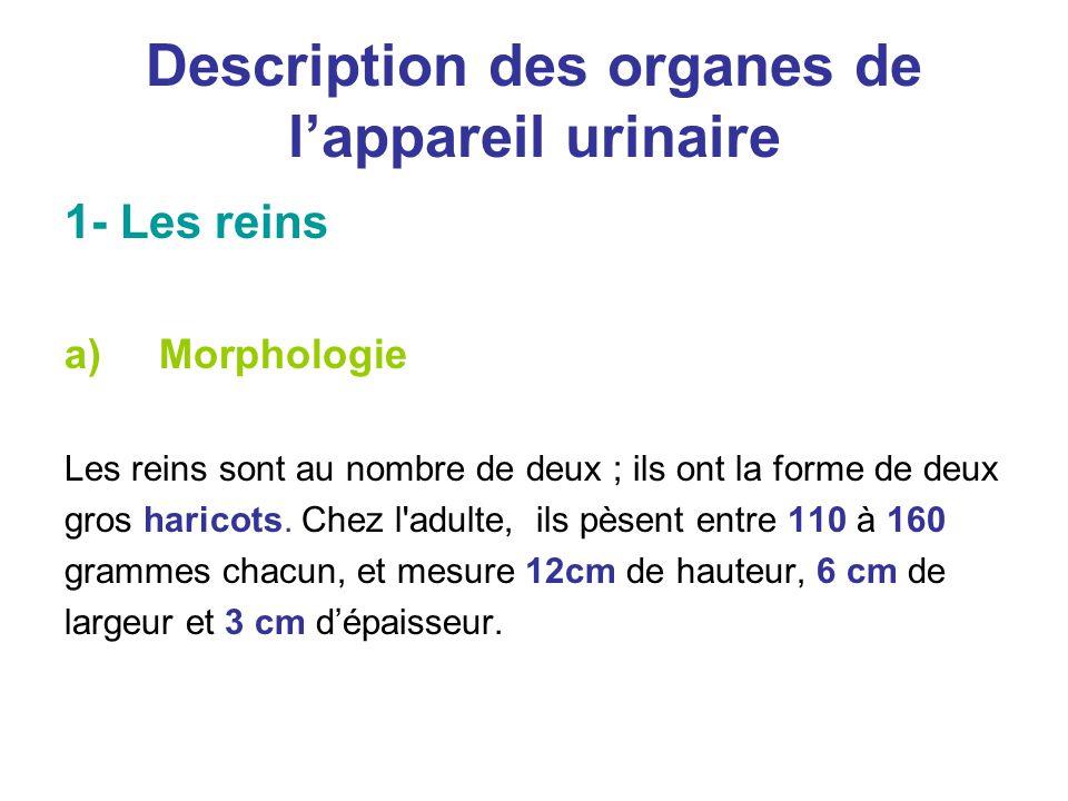 Description des organes de l'appareil urinaire