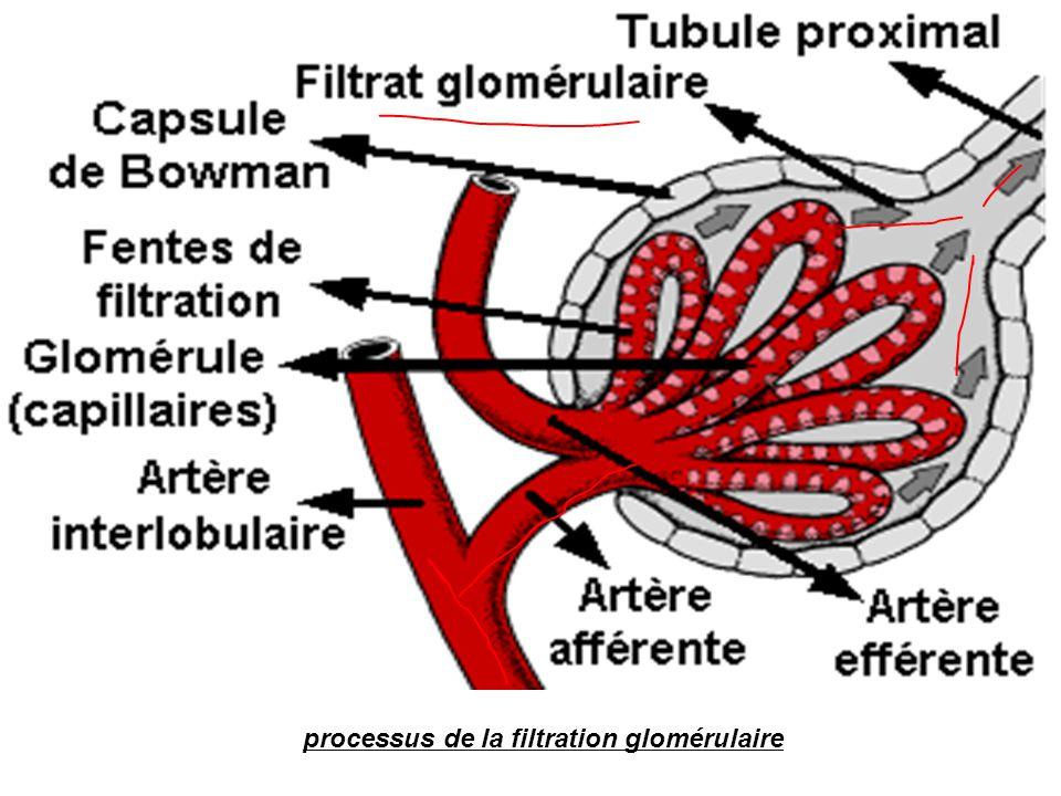 processus de la filtration glomérulaire