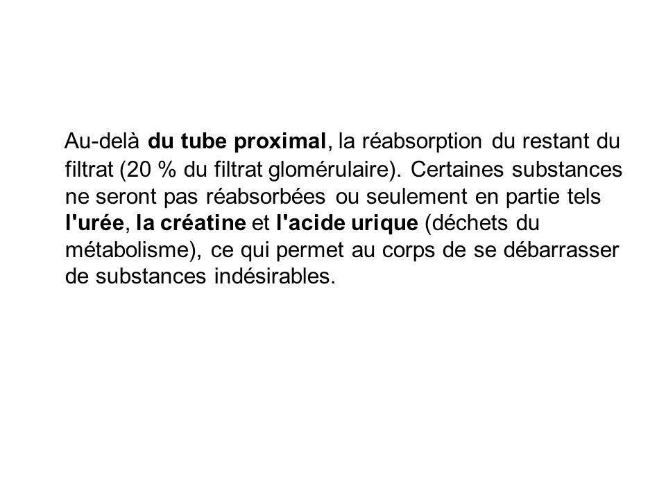 Au-delà du tube proximal, la réabsorption du restant du filtrat (20 % du filtrat glomérulaire).