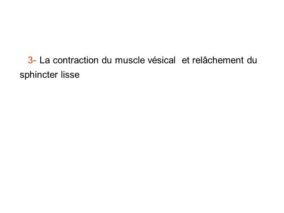 3- La contraction du muscle vésical et relâchement du