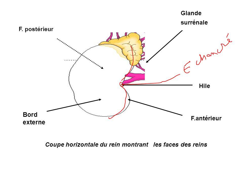 Bord externe Glande surrénale Hile F.antérieur