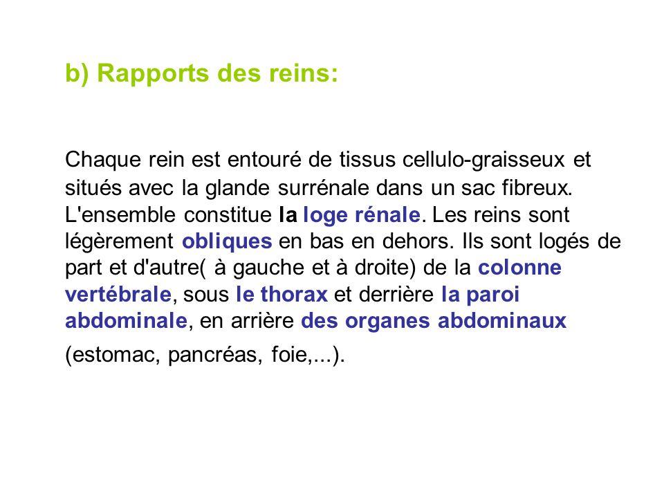 b) Rapports des reins: