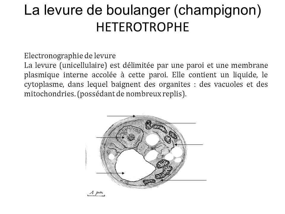 La levure de boulanger (champignon) HETEROTROPHE