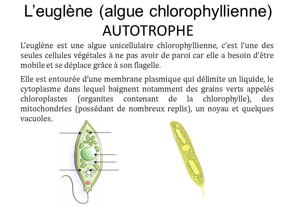 L'euglène (algue chlorophyllienne) AUTOTROPHE