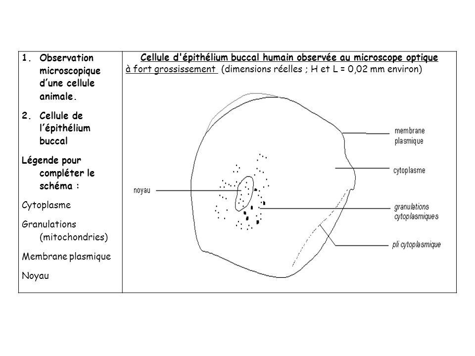 Cellule d épithélium buccal humain observée au microscope optique