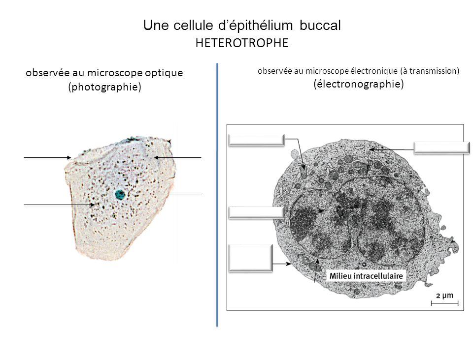 Une cellule d'épithélium buccal HETEROTROPHE