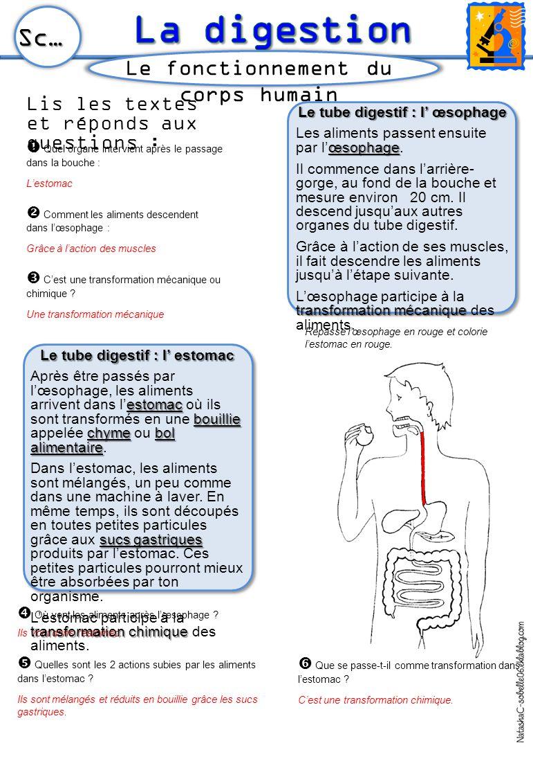 Le tube digestif : l' œsophage