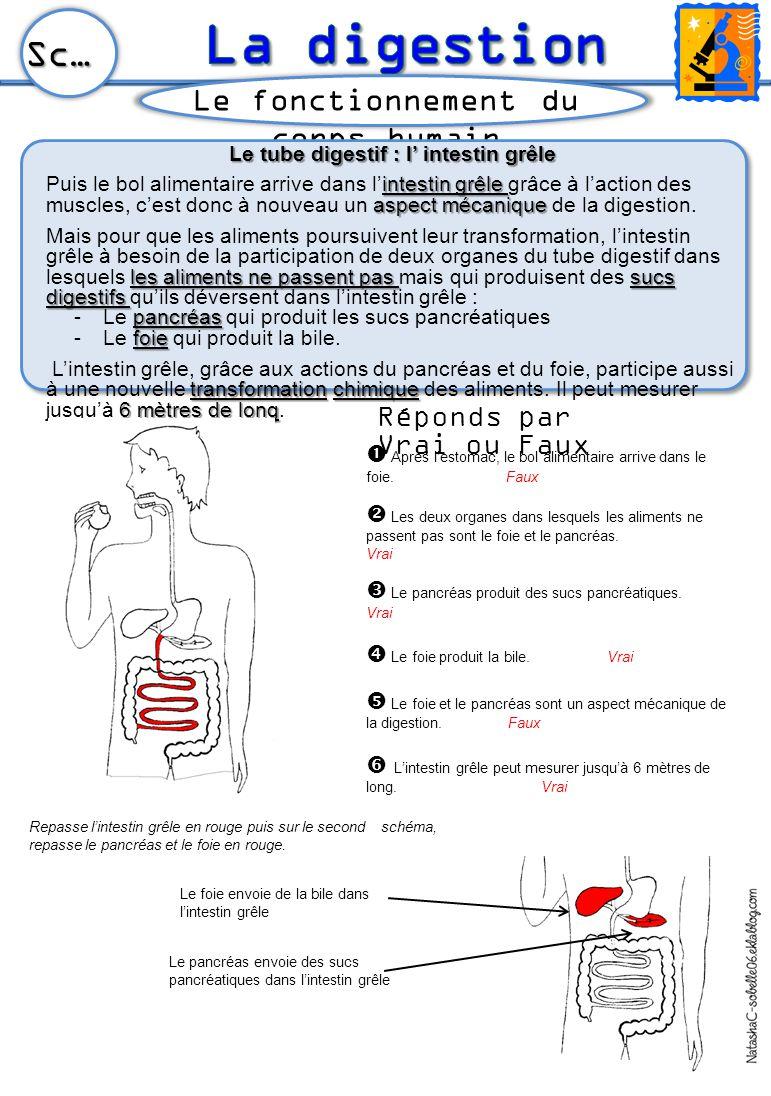 Le tube digestif : l' intestin grêle