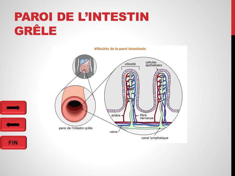 Paroi de l'intestin grêle