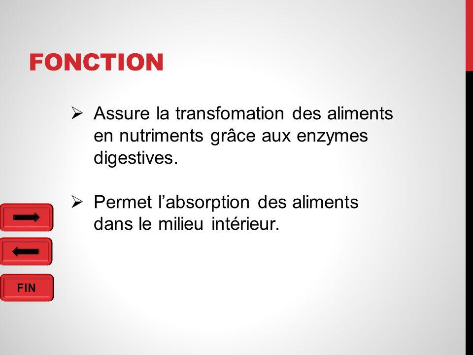 Fonction Assure la transfomation des aliments en nutriments grâce aux enzymes digestives.