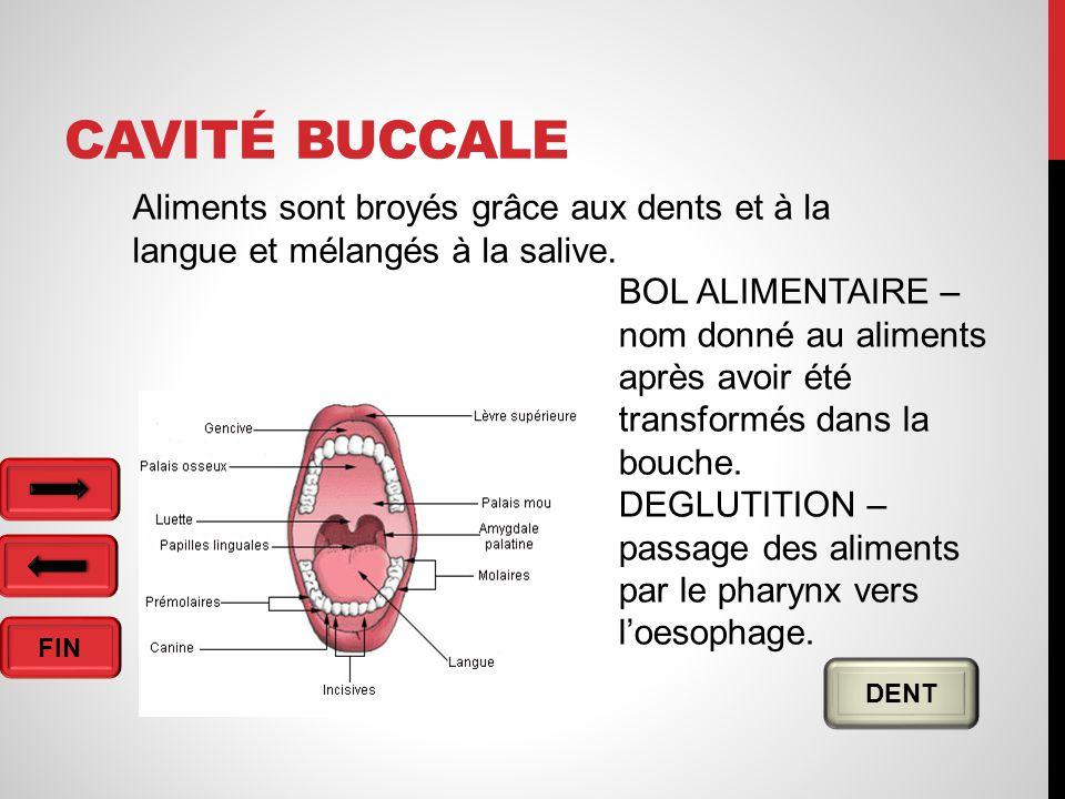 Cavité buccale Aliments sont broyés grâce aux dents et à la langue et mélangés à la salive.