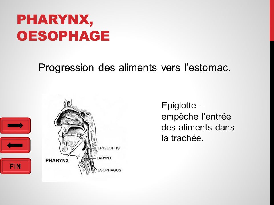 Pharynx, oesophage Progression des aliments vers l'estomac.