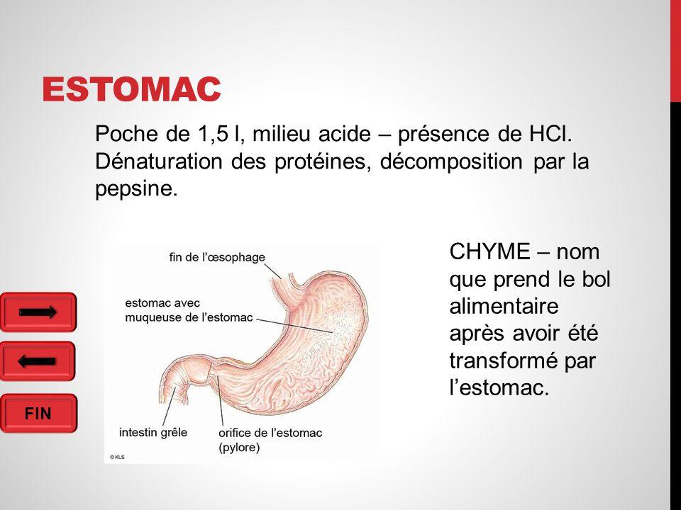 Estomac Poche de 1,5 l, milieu acide – présence de HCl.