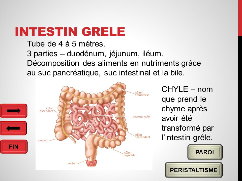 Intestin grele Tube de 4 à 5 métres.