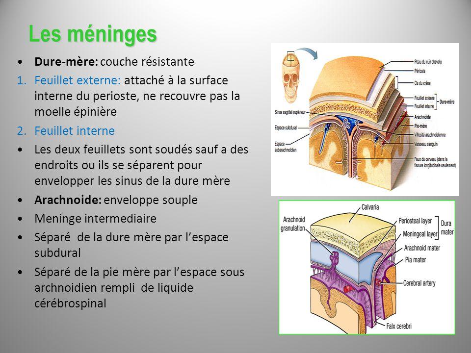 Anatomie du snc et territoires vasculaires ppt video online t l charger - Combien dure le retour de couche ...