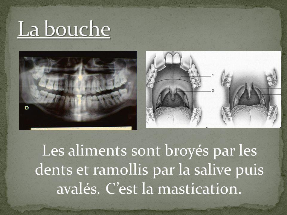 La bouche Les aliments sont broyés par les dents et ramollis par la salive puis avalés.