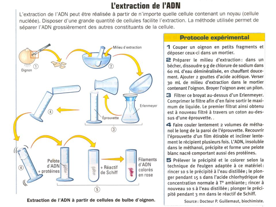 ADN : extraction
