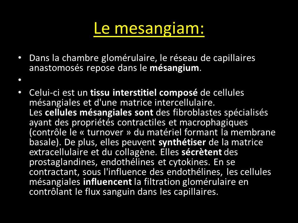 Le mesangiam: Dans la chambre glomérulaire, le réseau de capillaires anastomosés repose dans le mésangium.