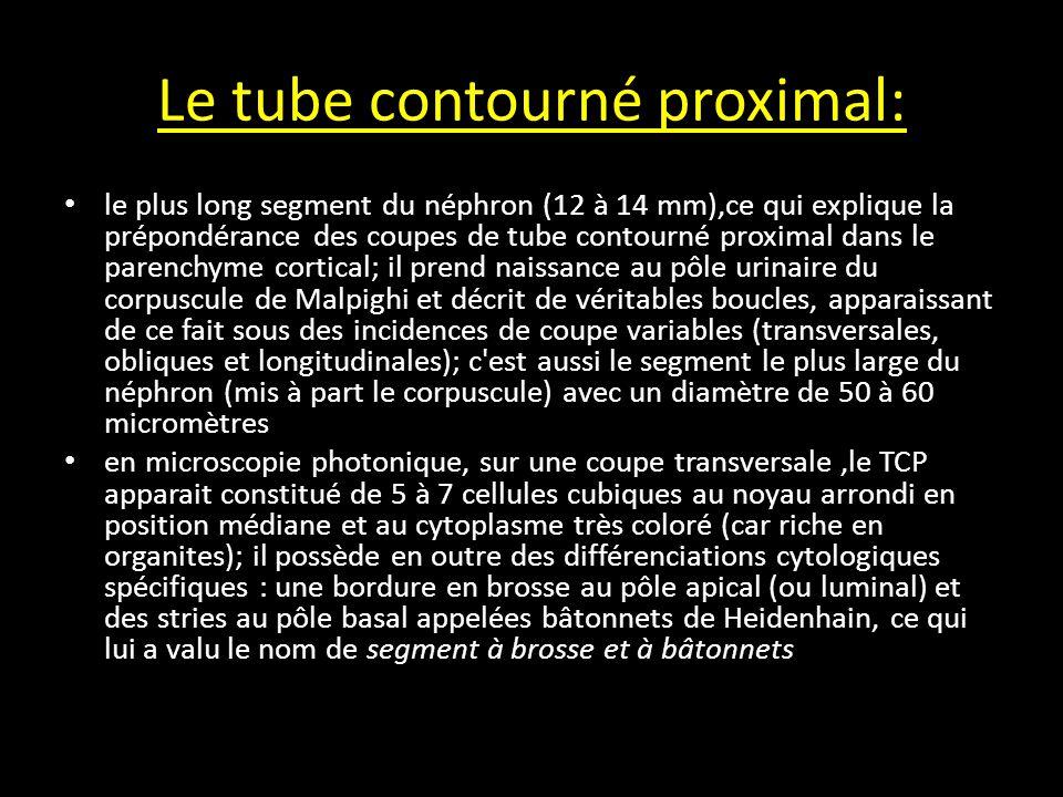 Le tube contourné proximal: