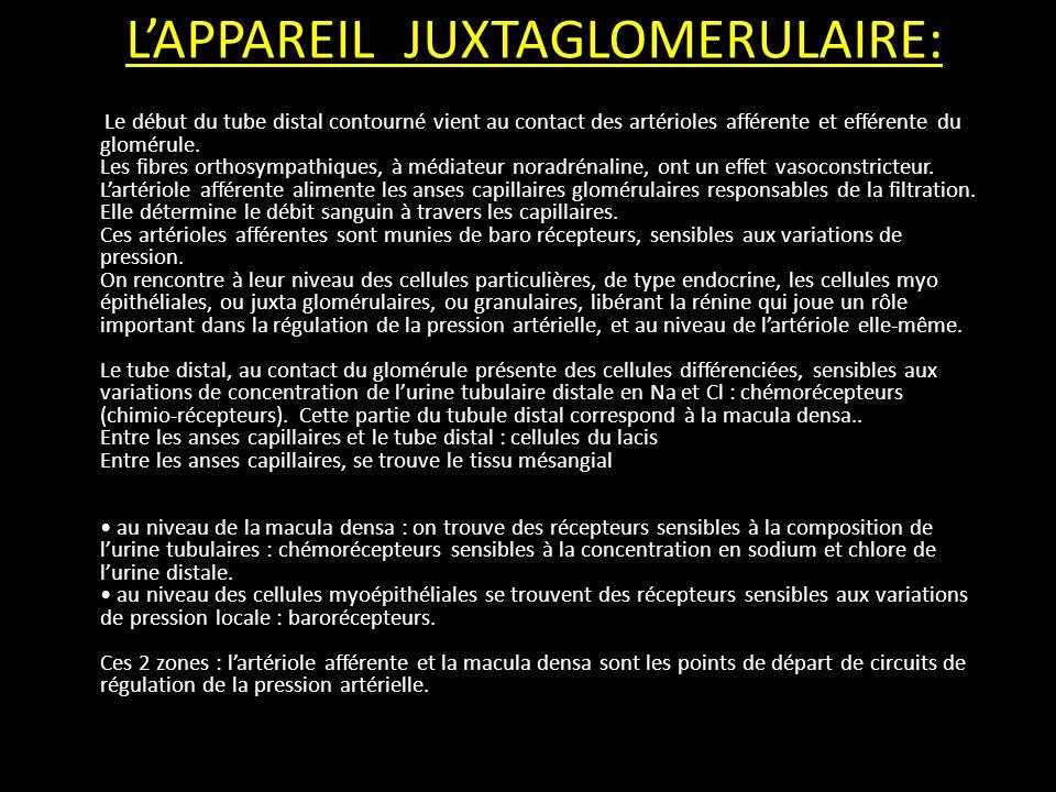 L'APPAREIL JUXTAGLOMERULAIRE: