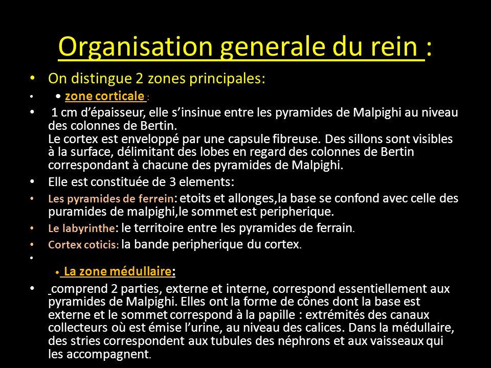 Organisation generale du rein :
