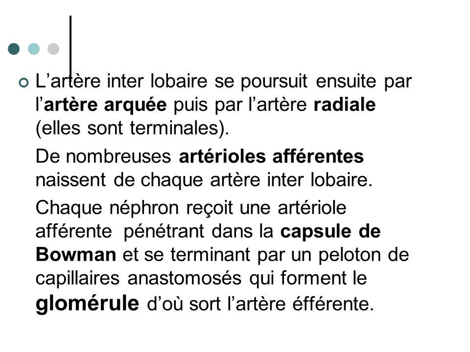 L'artère inter lobaire se poursuit ensuite par l'artère arquée puis par l'artère radiale (elles sont terminales).
