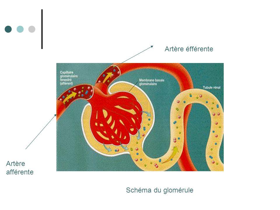 Artère éfférente Artère afférente Schéma du glomérule