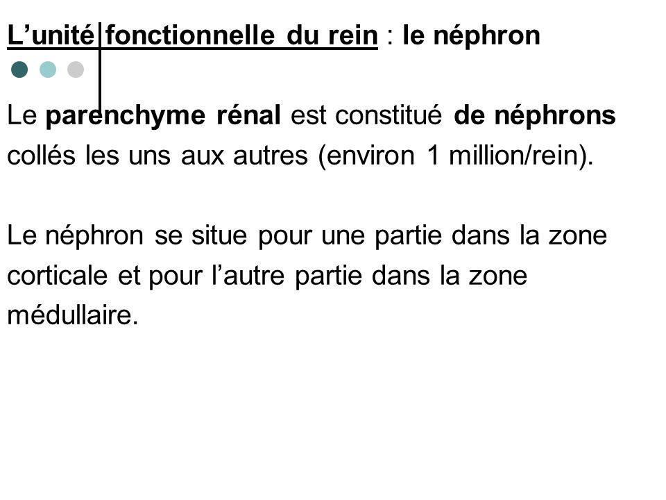 L'unité fonctionnelle du rein : le néphron