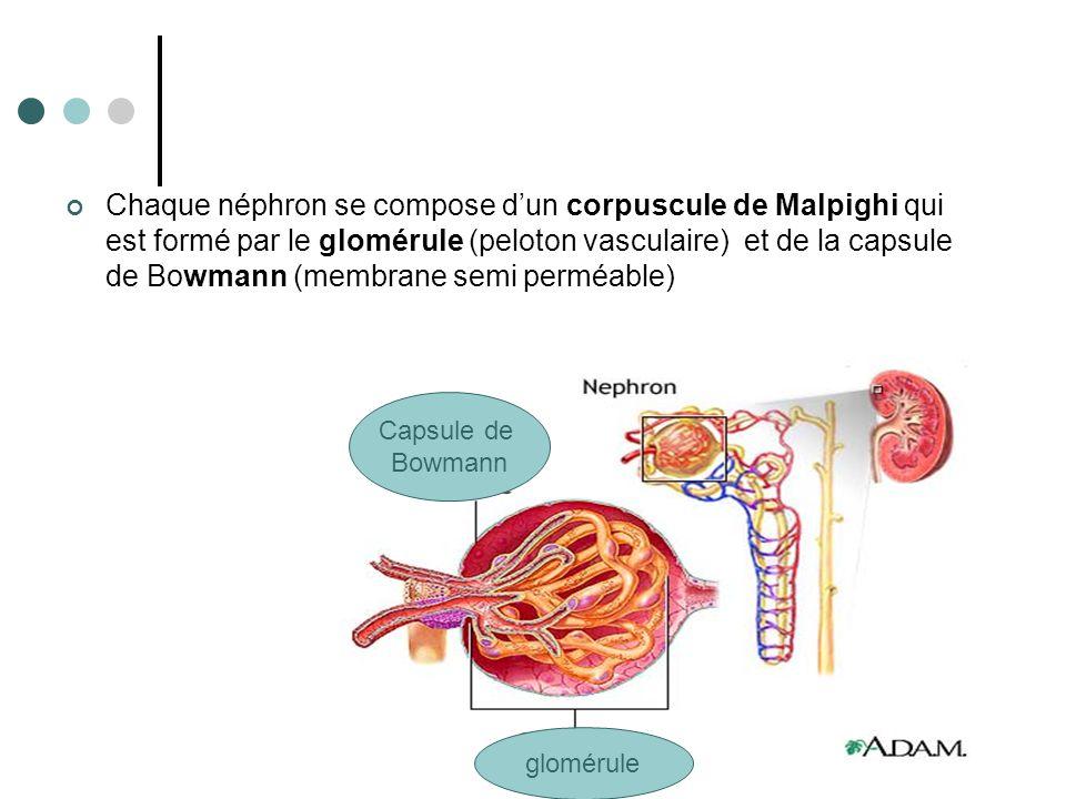 Chaque néphron se compose d'un corpuscule de Malpighi qui est formé par le glomérule (peloton vasculaire) et de la capsule de Bowmann (membrane semi perméable)