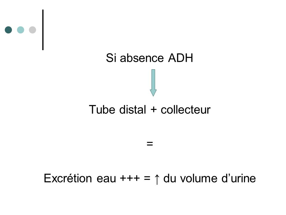 Tube distal + collecteur = Excrétion eau +++ = ↑ du volume d'urine