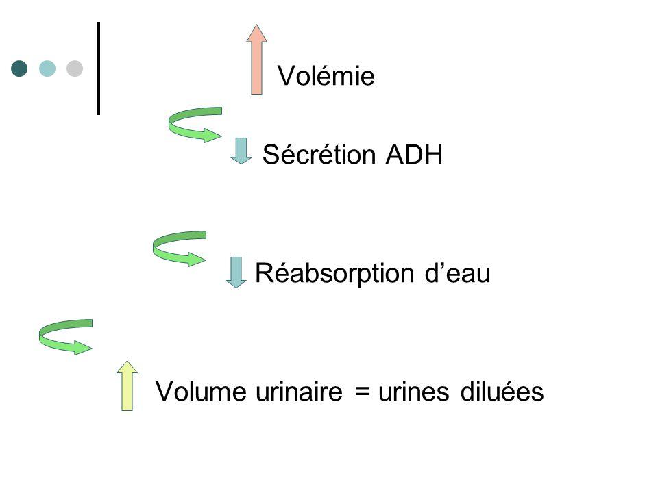 Volume urinaire = urines diluées