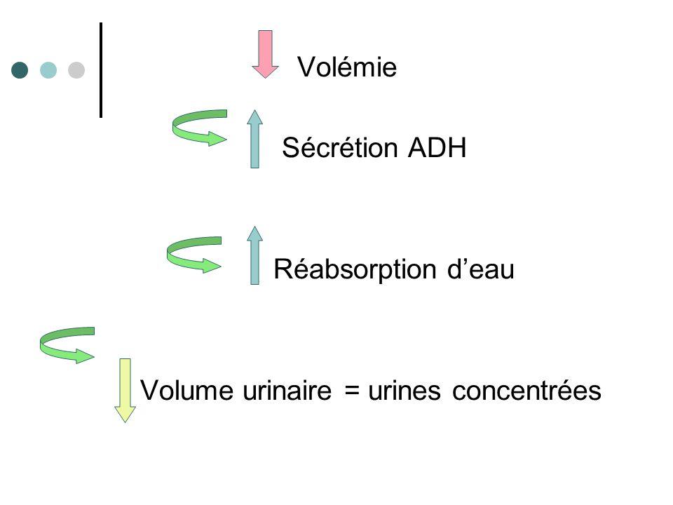Volume urinaire = urines concentrées