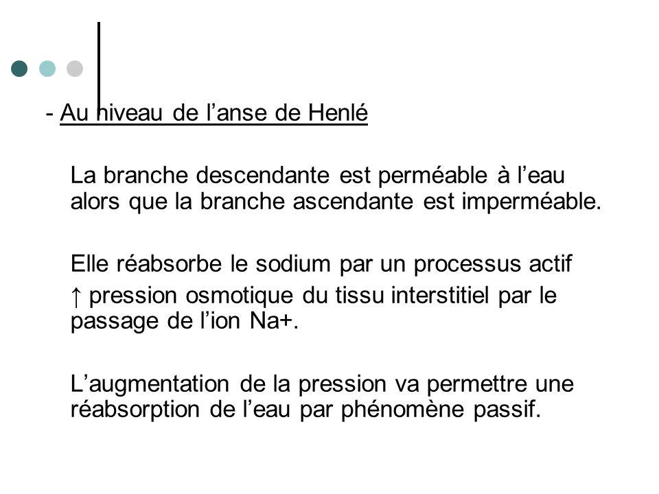 - Au niveau de l'anse de Henlé