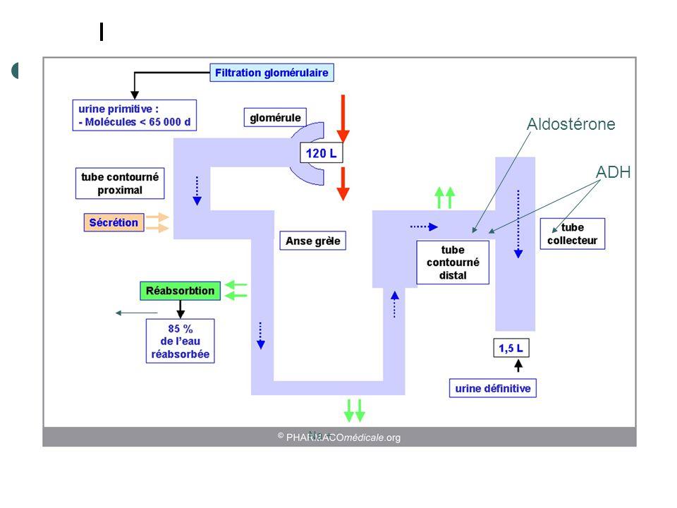 Aldostérone ADH Na +