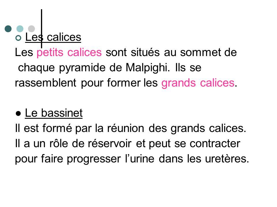 Les calices Les petits calices sont situés au sommet de. chaque pyramide de Malpighi. Ils se. rassemblent pour former les grands calices.