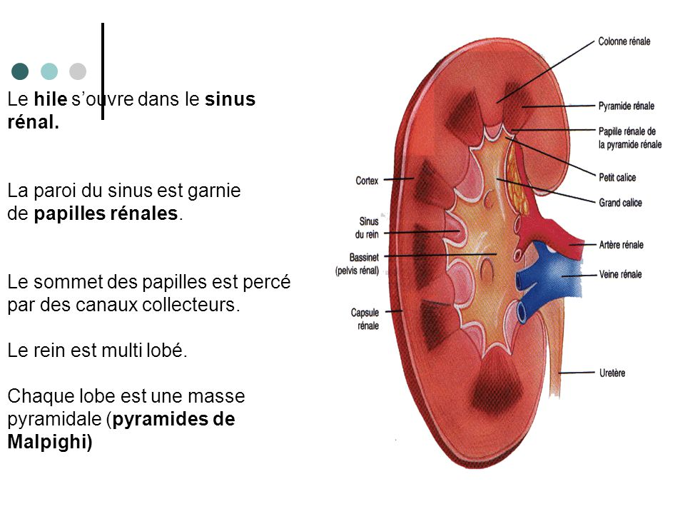 Le hile s'ouvre dans le sinus