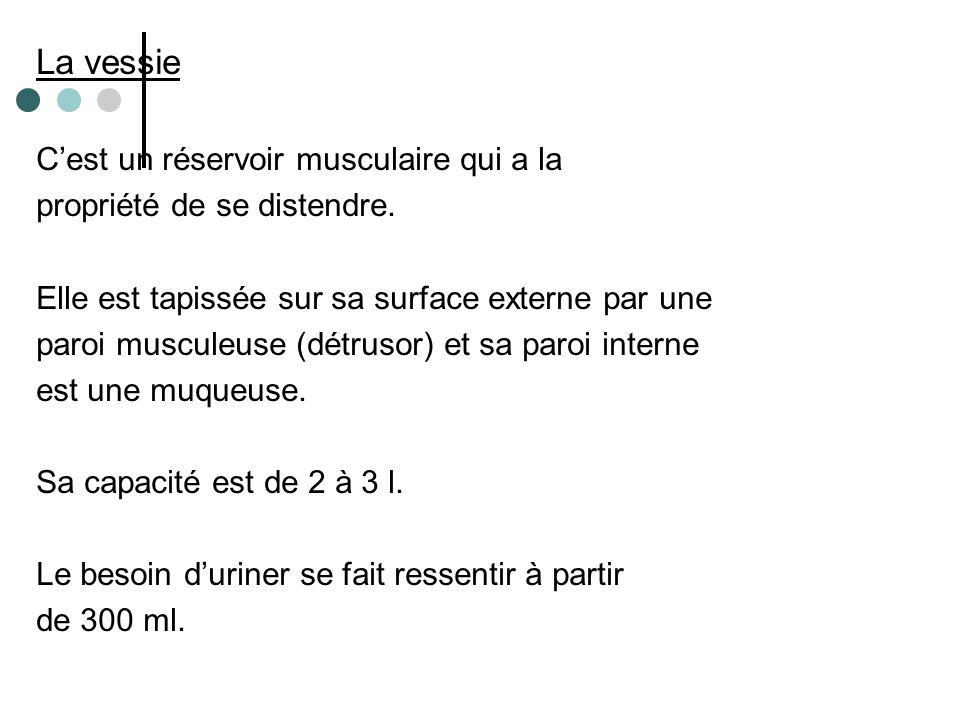 La vessie C'est un réservoir musculaire qui a la