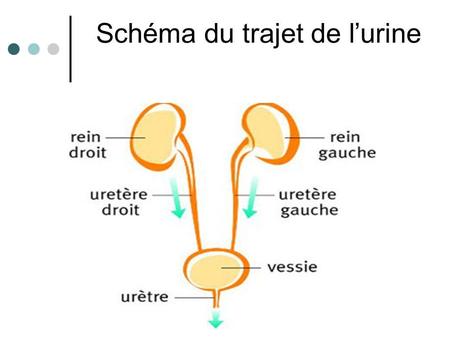 Schéma du trajet de l'urine