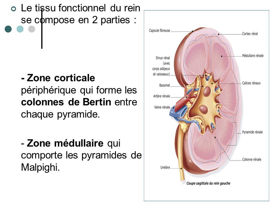 Le tissu fonctionnel du rein se compose en 2 parties :