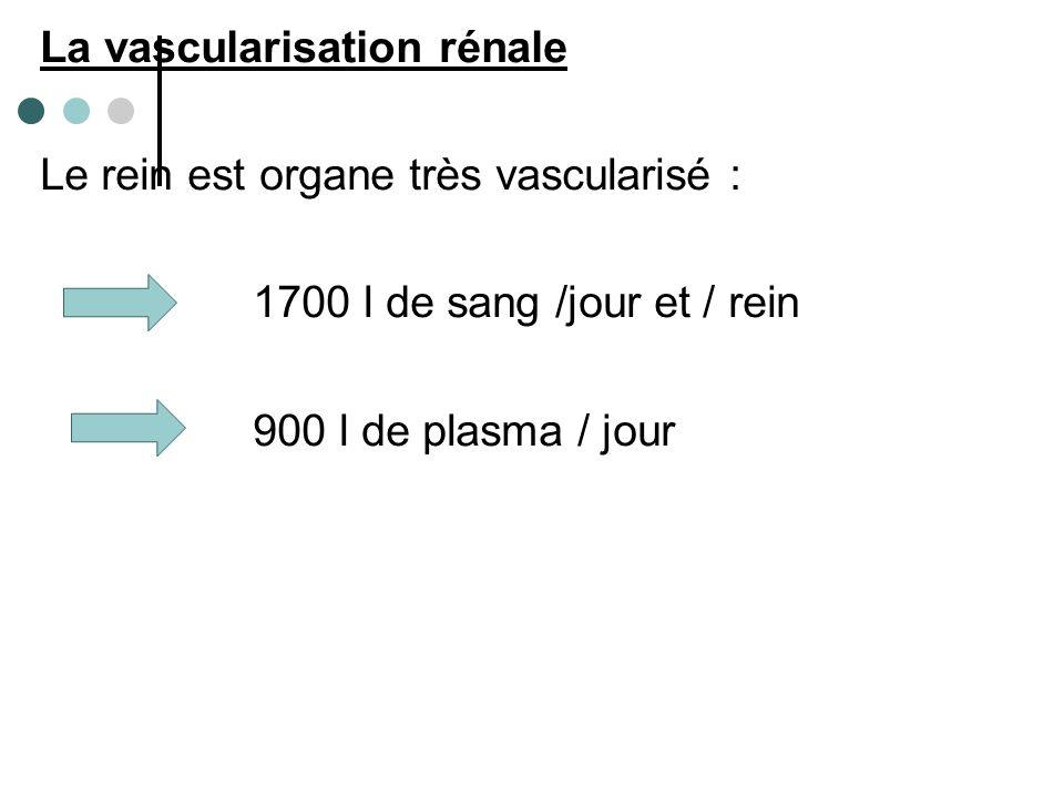 La vascularisation rénale