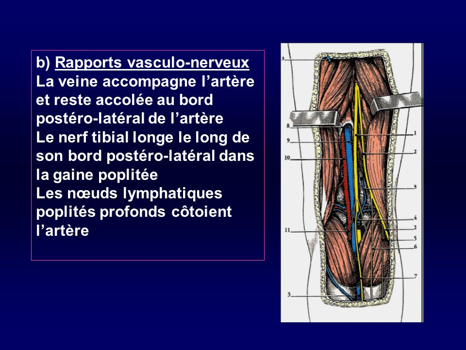 b) Rapports vasculo-nerveux