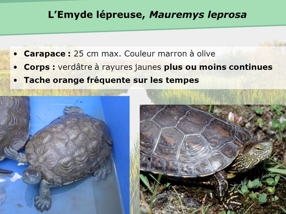L'Emyde lépreuse, Mauremys leprosa
