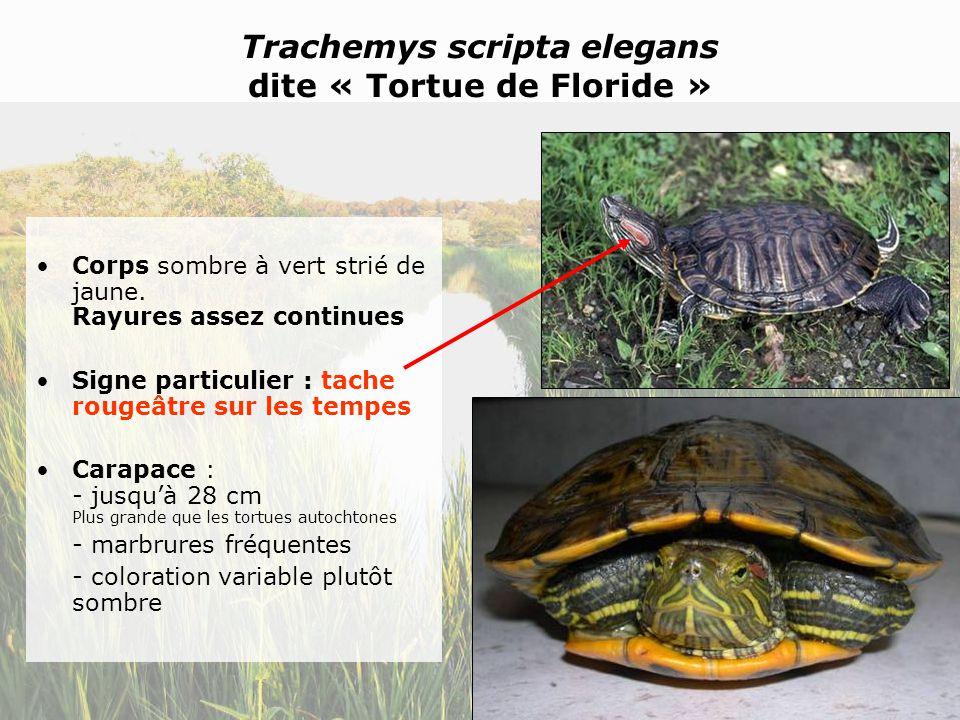 Trachemys scripta elegans dite « Tortue de Floride »