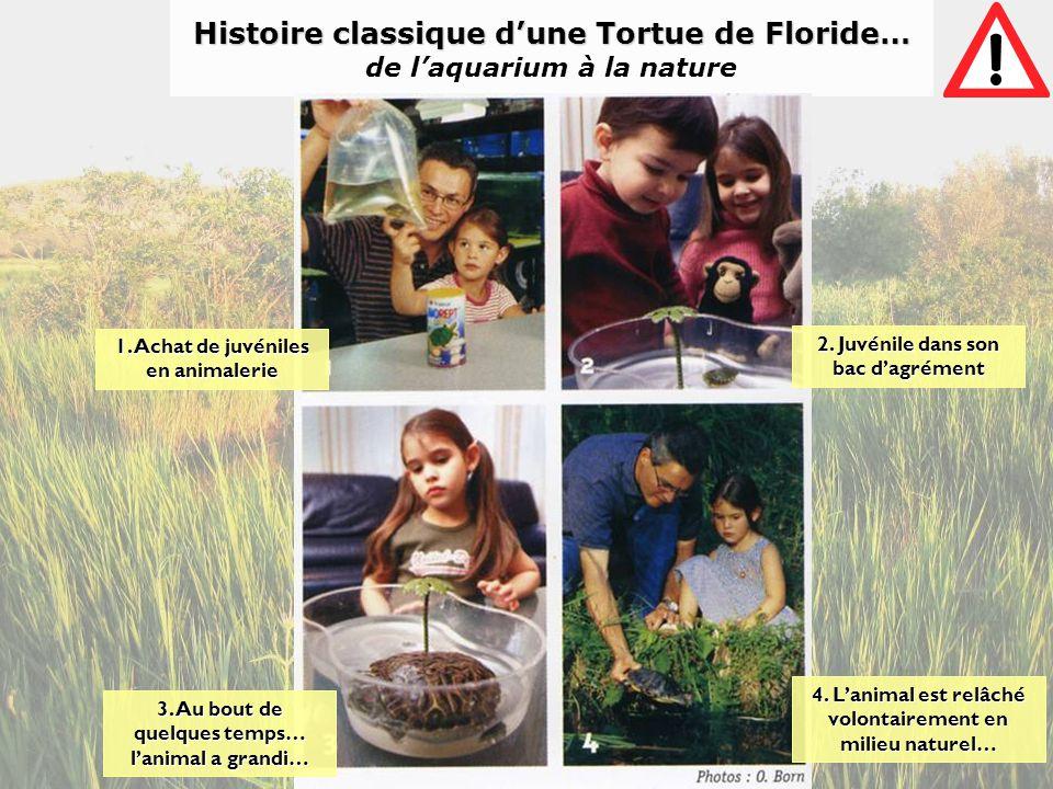 Histoire classique d'une Tortue de Floride… de l'aquarium à la nature