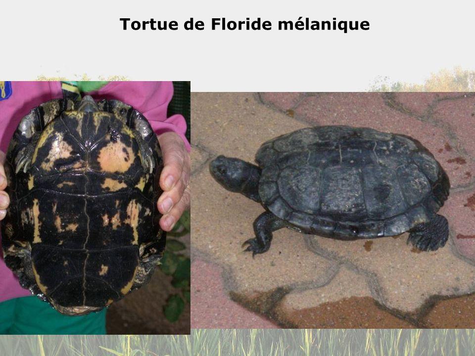Tortue de Floride mélanique