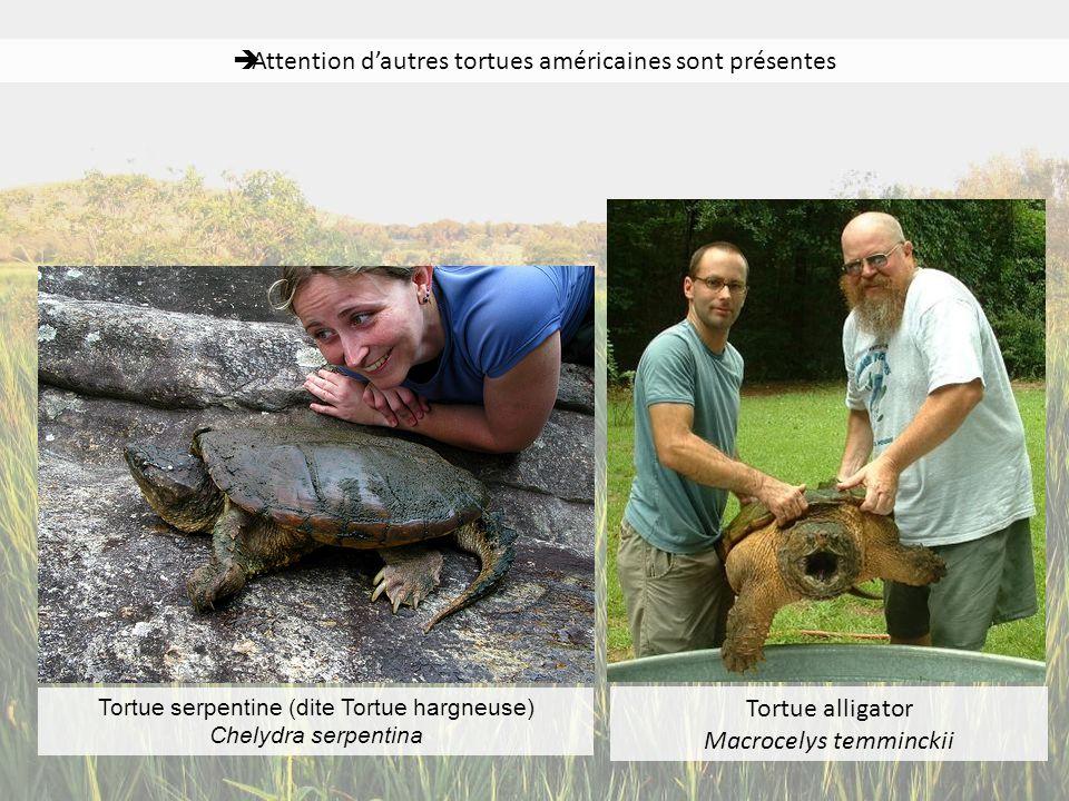 Attention d'autres tortues américaines sont présentes