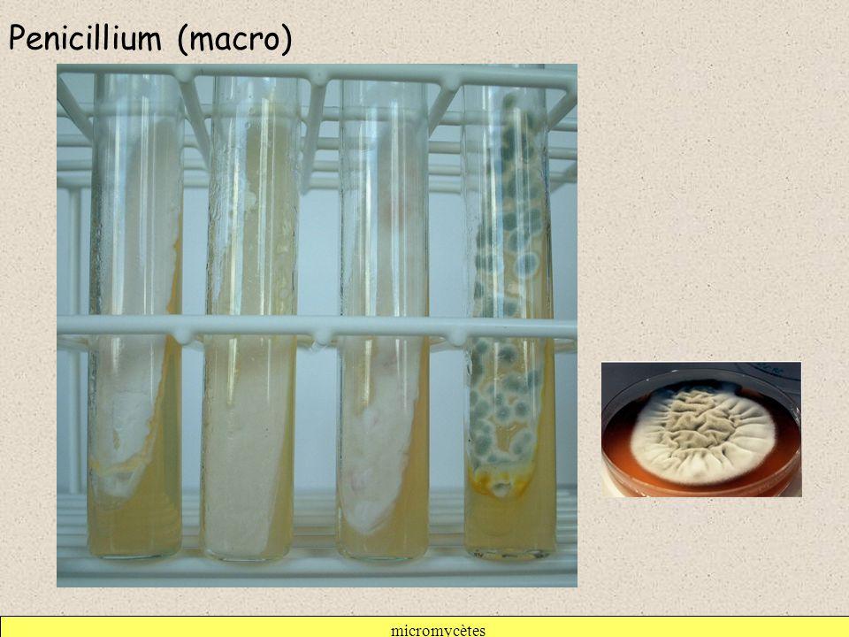 Penicillium (macro) micromycètes